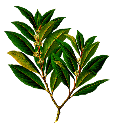 조말론-블랙베리-월계수-잎-미들-노트